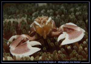 Face to face with this beautiful Porcelaine Crab... :O)... by Michel Lonfat 